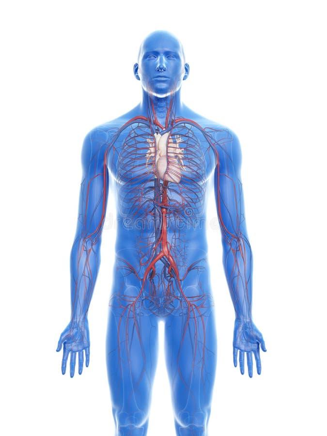 Het vasculaire systeem stock illustratie