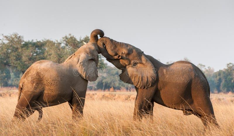 Het vechten Afrikaanse olifanten in de savanne Afrikaanse Afrikaanse de struikolifant van de savanneolifant, Loxodonta-africana stock foto's