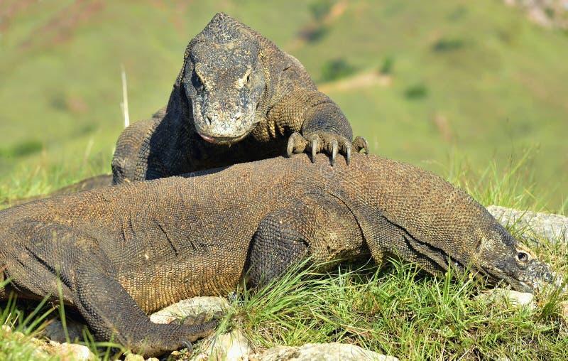 Het Vechten Comodo komodoensis van draakvaranus voor overheersing Het is de grootste het leven hagedis in de wereld Eiland Rinca  stock afbeelding