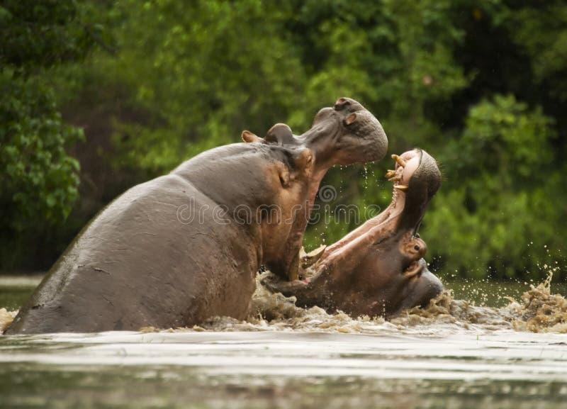 Het vechten hippos royalty-vrije stock afbeelding