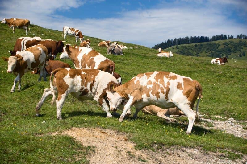 Het vechten Koeien stock fotografie