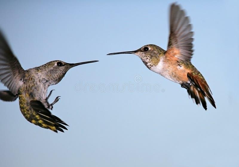 Het vechten kolibries stock foto's