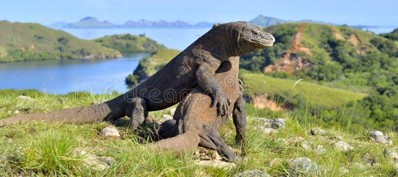 Het Vechten Komodo komodoensis van drakenvaranus voor overheersing Het is de grootste het leven hagedis in de wereld Eiland Rinca stock afbeeldingen