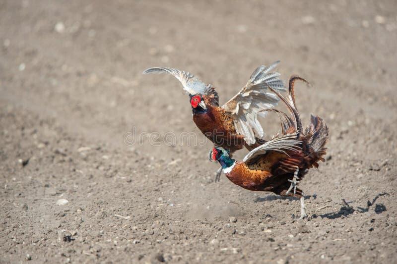 Het vechten mannelijke boze fazanten stock afbeelding
