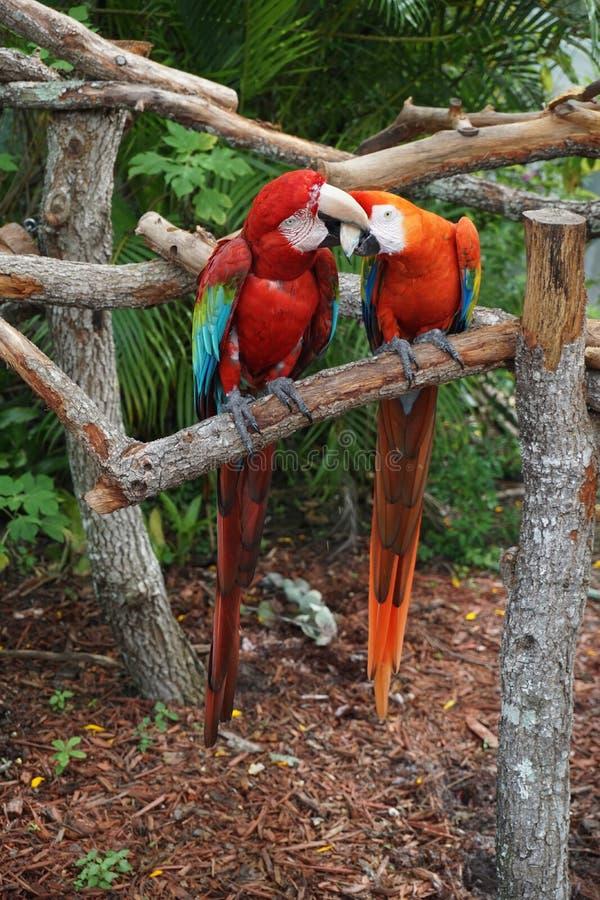 Het vechten papegaaien bij de Vlinderwereld, Florida royalty-vrije stock foto's
