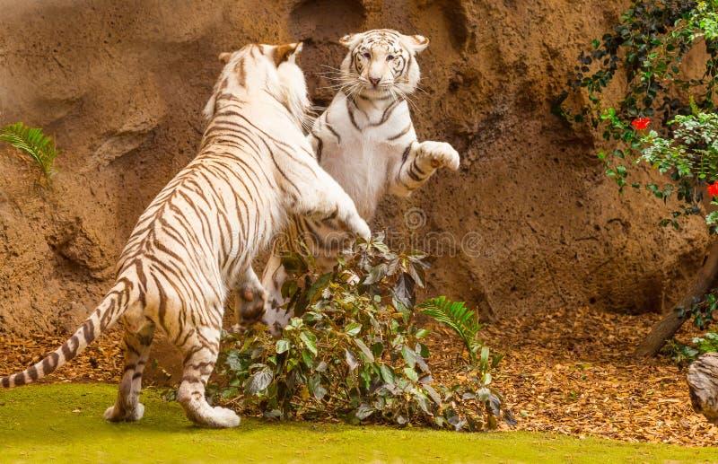 Het vechten tussen twee witte tijgers stock foto's