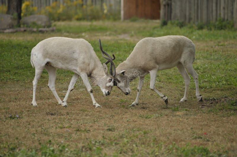 Het vechten van de impala royalty-vrije stock fotografie