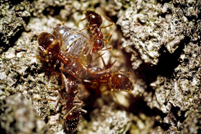Het Vechten van mieren royalty-vrije stock foto