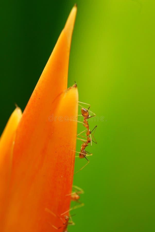 Het Vechten van mieren royalty-vrije stock foto's