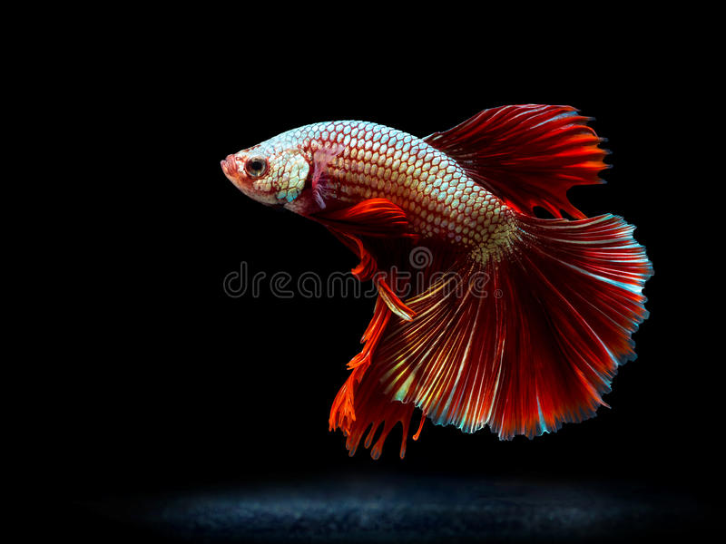 Het vechten van Siam vissen op zwarte, bettavissen stock afbeelding