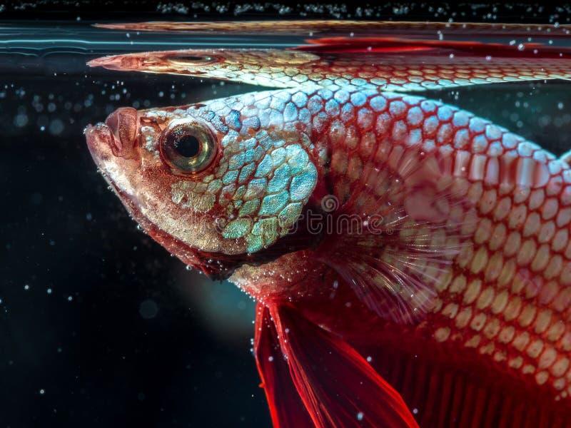 Het vechten van Siam vissen op zwarte, bettavissen stock foto