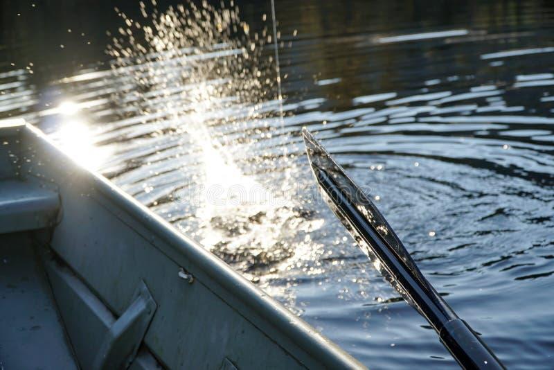 Het vechten Vissen royalty-vrije stock foto's