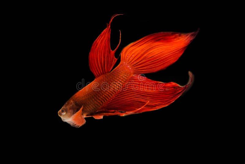 Het vechten vissen op zwarte achtergrond stock afbeelding
