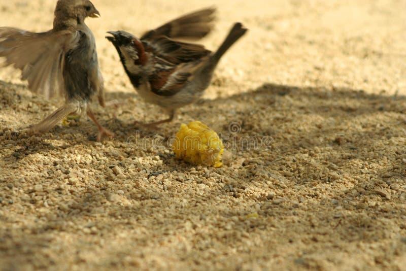 Het vechten voor maïs stock afbeelding