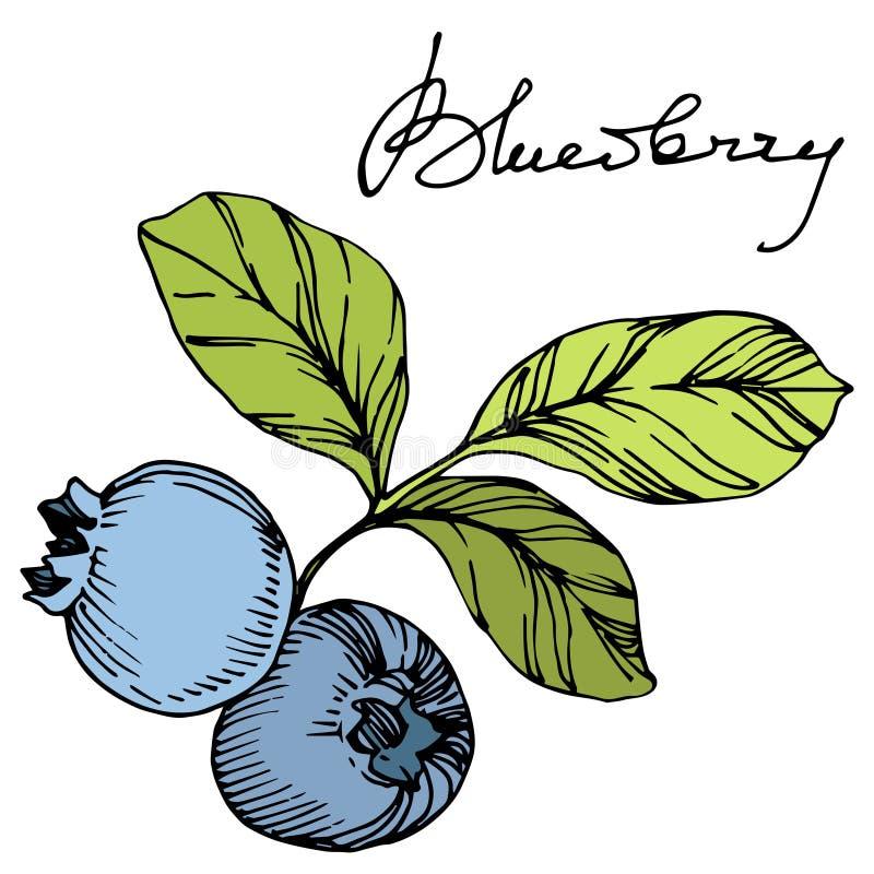 Het vectorart. van de Bosbessen groene en blauwe gegraveerde inkt Bessen en groene bladeren Het geïsoleerde element van de bosbes vector illustratie