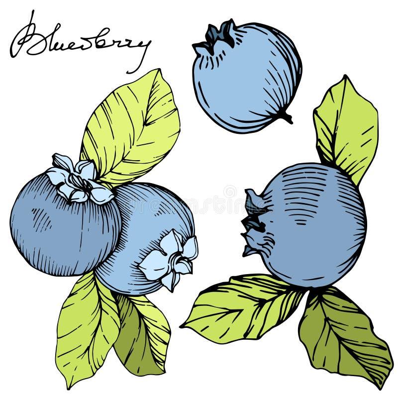 Het vectorart. van de Bosbessen groene en blauwe gegraveerde inkt Bessen en groene bladeren Het geïsoleerde element van de bosbes stock illustratie