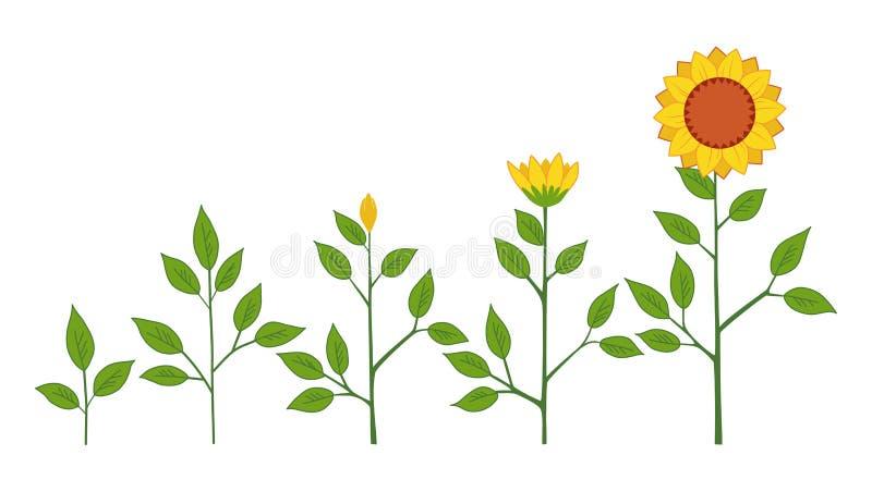 Het vectorconcept van de groeistadia van de zonnebloeminstallatie, abstracte die bloemsymbolen op witte achtergrond worden geïsol royalty-vrije illustratie
