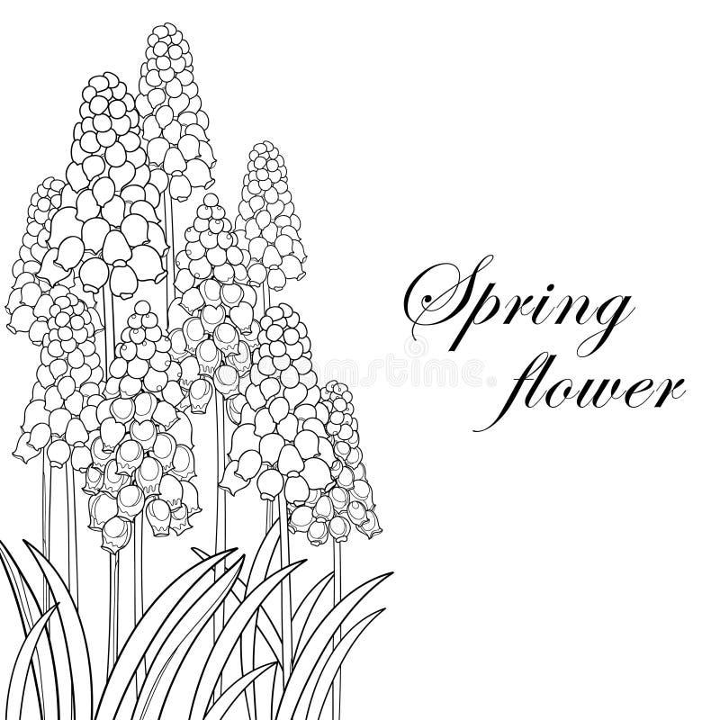 Het vectordieboeket met overzichtsmuscari of de druivenhyacint bloeit en blad in zwarte op witte achtergrond wordt geïsoleerd Hoe stock illustratie