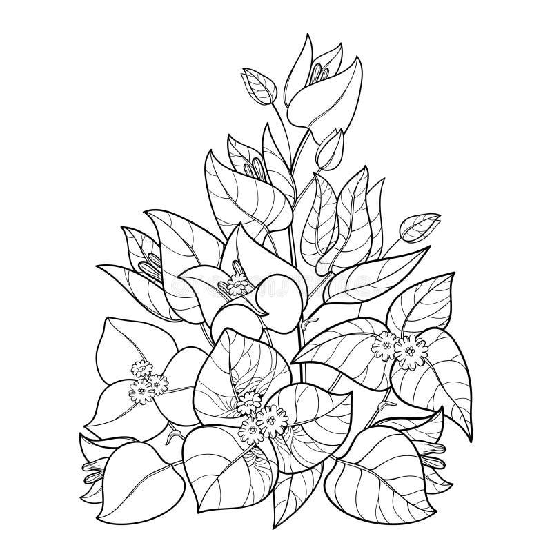 Het vectordieboeket van overzichtsbougainvillea of Buganvilla-de bloem bundelt met knop en blad in zwarte op witte achtergrond wo stock illustratie