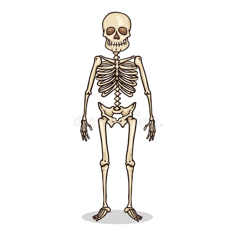 Het vectorkarakter van de Beeldverhaalkleur - Menselijk Skelet stock illustratie