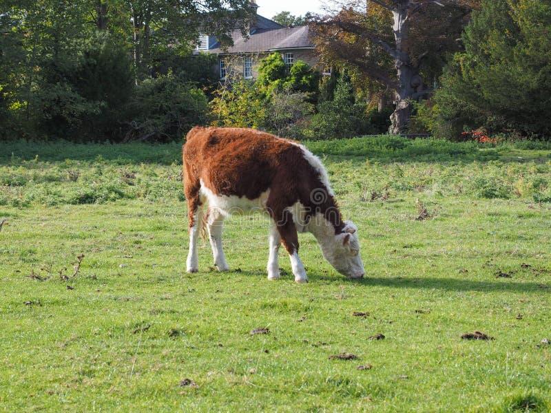 Het vee van het Coemoeras meadowland in Cambridge stock foto's