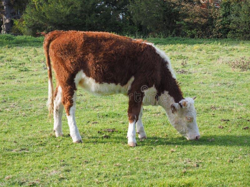 Het vee van het Coemoeras meadowland in Cambridge stock foto