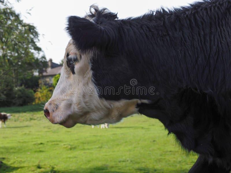Het vee van het Coemoeras meadowland in Cambridge royalty-vrije stock foto