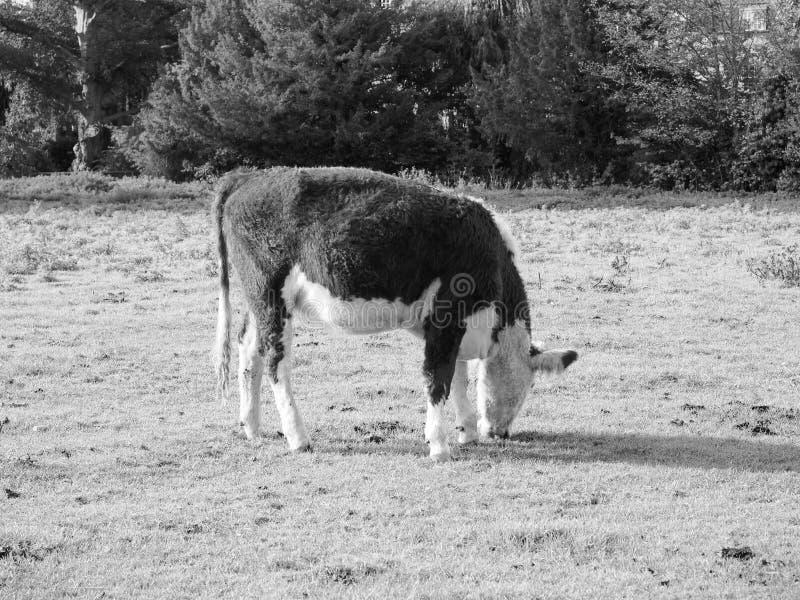 Het vee van het Coemoeras meadowland in Cambridge in zwart-wit stock afbeelding