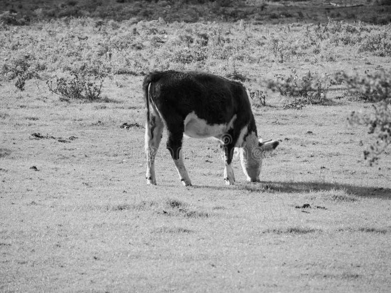 Het vee van het Coemoeras meadowland in Cambridge in zwart-wit stock fotografie