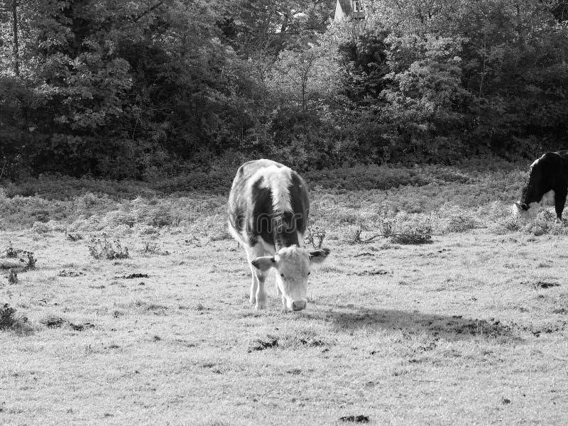 Het vee van het Coemoeras meadowland in Cambridge in zwart-wit royalty-vrije stock fotografie