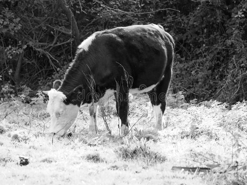 Het vee van het Coemoeras meadowland in Cambridge in zwart-wit royalty-vrije stock afbeelding