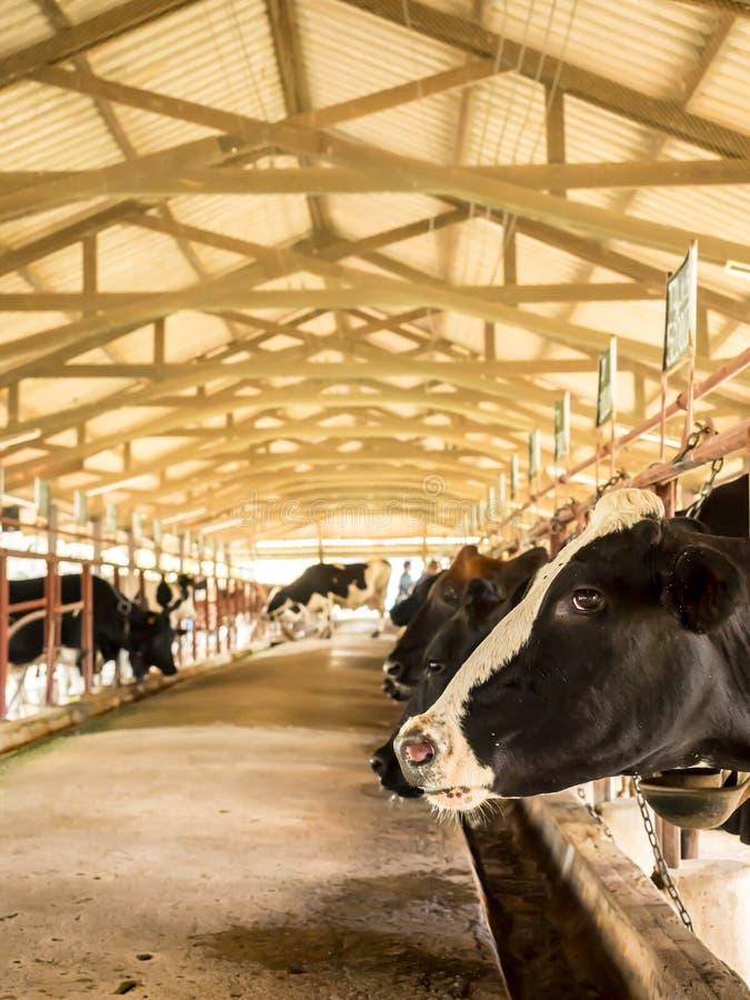 Het vee van de melkkoe in landbouwbedrijf voor de voedselindustrie, Thailand royalty-vrije stock afbeelding