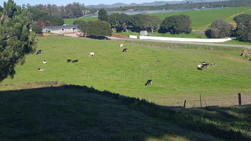 Het vee van de zoutmerenvallei royalty-vrije stock afbeelding