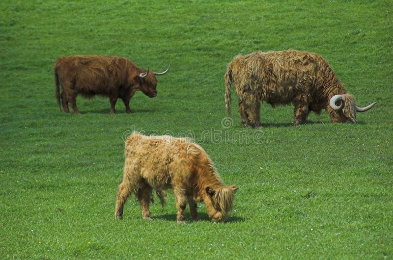 Het vee van het hoogland stock fotografie