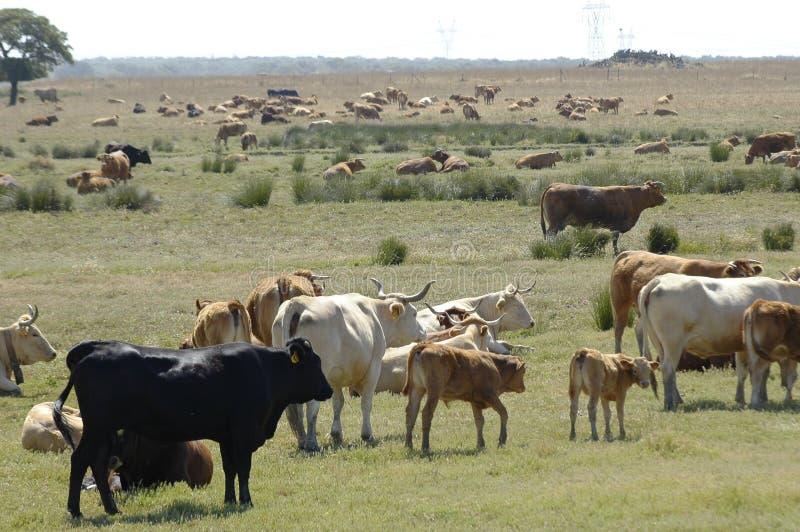 Het Vee van het landbouwbedrijf stock afbeeldingen
