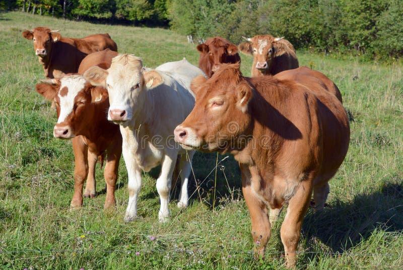 Het vee van Limousin stock afbeelding