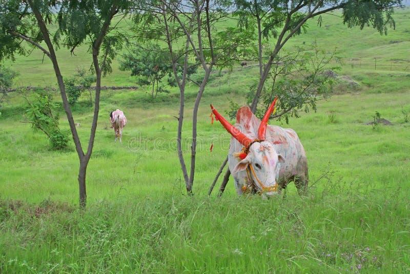 Het vee weidend gras van het landbouwbedrijf stock foto