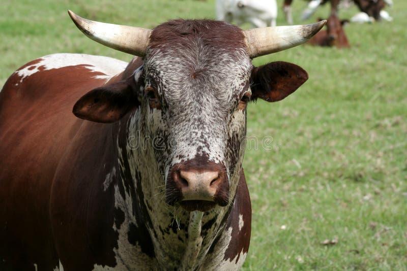 Het veestier van Nguni stock fotografie