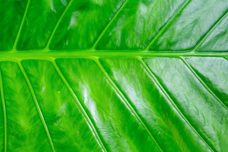 Het vegetatieve groene het blad van de van de achtergrond textuurbanaan het ontwerpazië sappige heldere lijnen tropische patroon royalty-vrije stock foto's