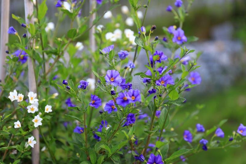 Het verbazen bloeit in de Alpiene tuin - rode en violette petunia, gele en oranzheny barkhatets, een viola en een wilde aardbei royalty-vrije stock afbeeldingen