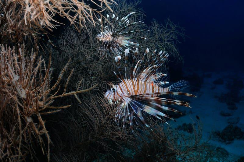 Het verbergen lionfish royalty-vrije stock foto's