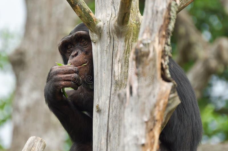 Het Verbergen Van De Chimpansee Stock Foto's