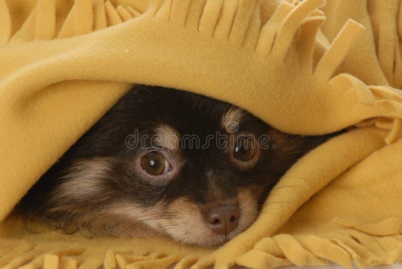 Het verbergen van het puppy onder een deken stock foto