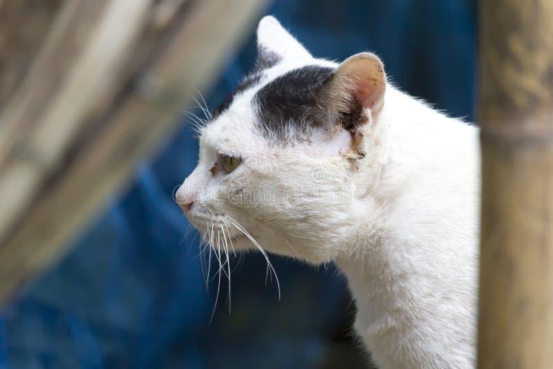 Het verdwaalde kattenwit die vindt iets in Thailand eruit zien royalty-vrije stock foto