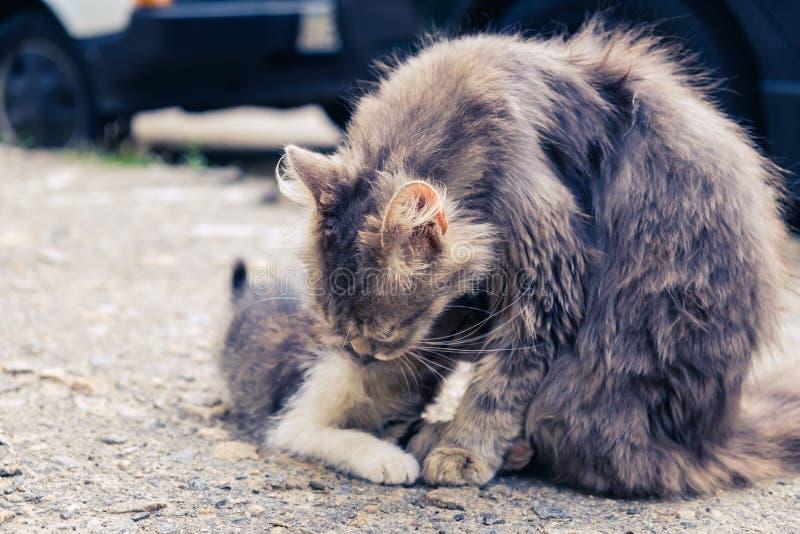 Het verdwaalde leuke huisdier van de katjeskat binnenlandse pot stock afbeelding