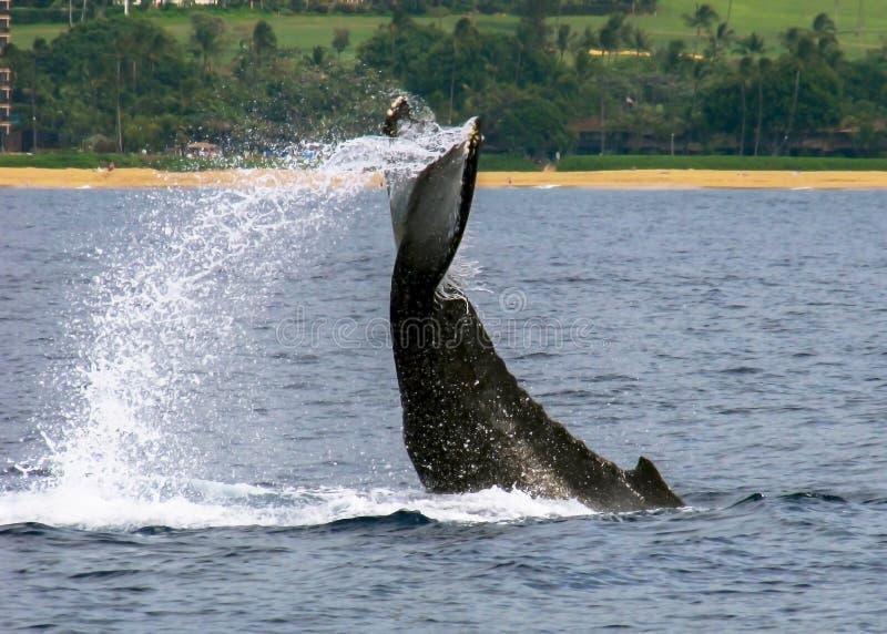 Het Verhaalplonsen van de gebocheldewalvis met Kust op Achtergrond stock foto's