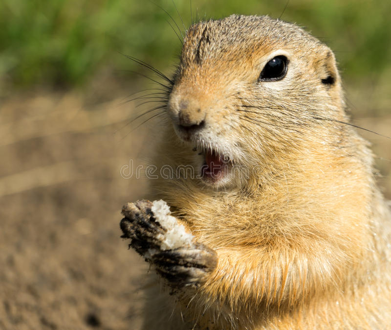 Het verraste grond-eekhoorn eten stock fotografie