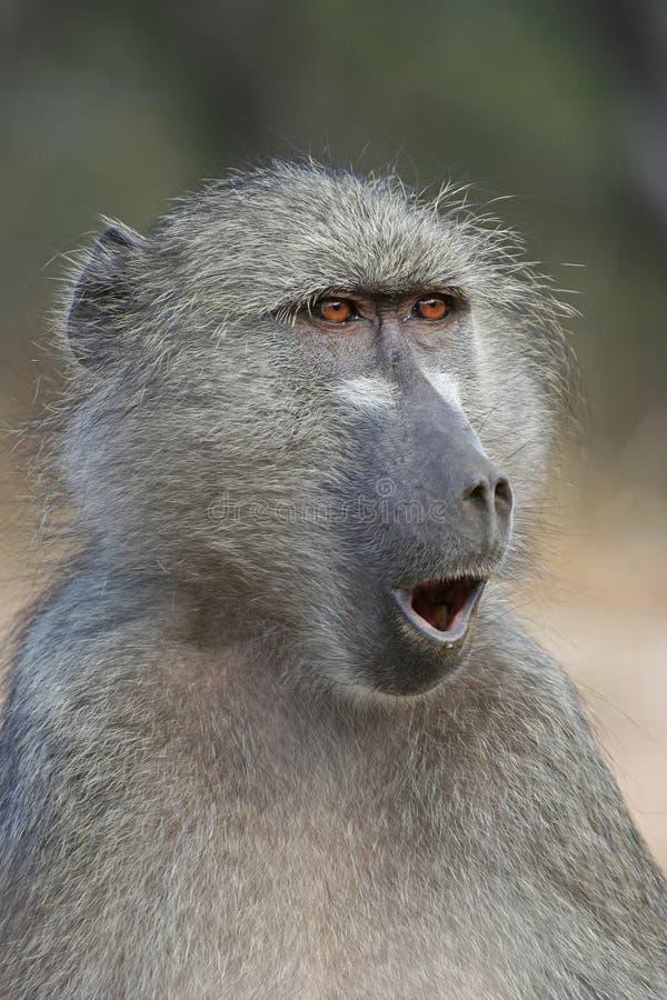 Het verraste kijken baviaan stock fotografie