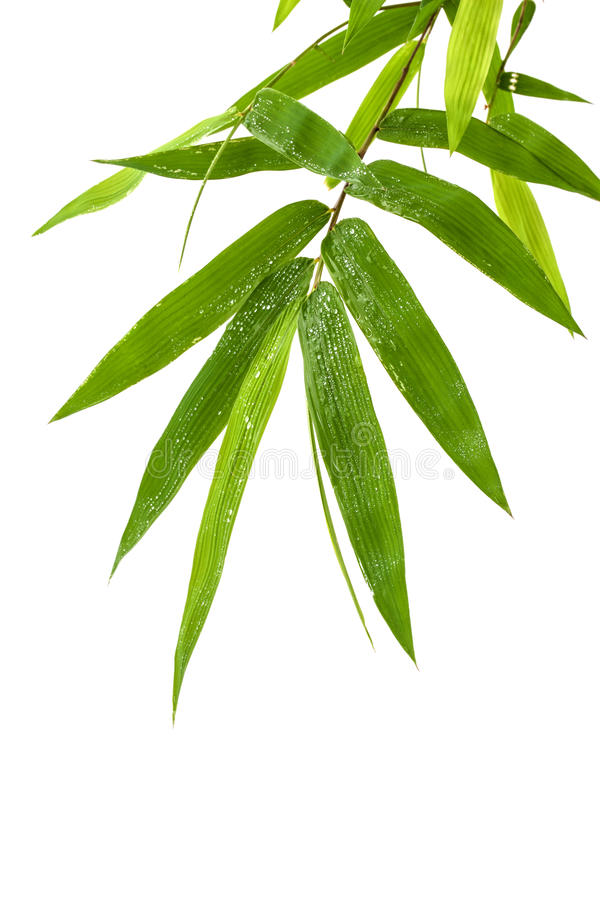 Het verse die bamboe verlaat grens met waterdaling op witte bac wordt geïsoleerd stock afbeelding