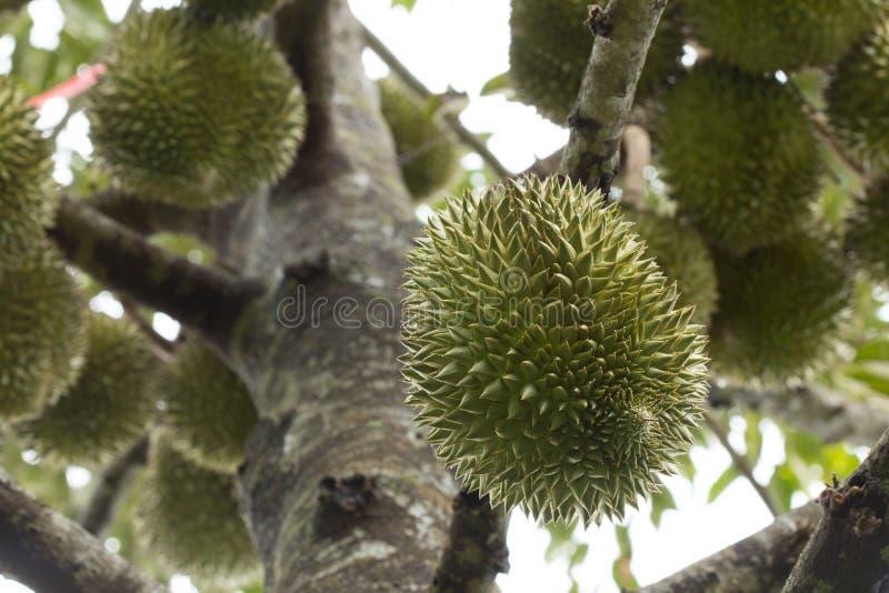 Het verse durian fruit op boom, Durians is de koning van vruchten royalty-vrije stock foto